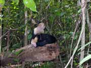 White-faced capuchin monkey. National park Manuel Antonio. Costa Rica.