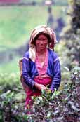 Tea picker. Area around Kalaw village. Myanmar (Burma).