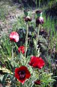 Poppy, Mt Damavand area. Iran.