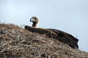 Young Vulture on the roof of the house, south of Addis Abbeba. South, Ethiopia.