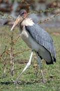 Marabou stork (Leptoptilos crumeniferus), Ziway lake. South,  Ethiopia.