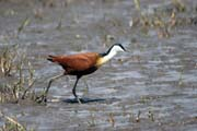 African jacana (Actophilornis africanuss), Ziway lake. South,  Ethiopia.