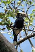 Silvery-cheeked Hornbill (Ceratogymna brevis), Awasa lake. South,  Ethiopia.