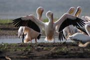 Pink-backed Pelicans (Pelecanus rufescens), Arba Minch. South,  Ethiopia.