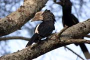 Silvery-cheeked Hornbill (Ceratogymna brevis), Arba Minch area. South,  Ethiopia.