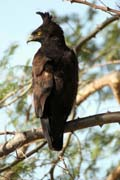 Long-crested Eagle (Spizaetus occipitalis), Arba Minch area. South,  Ethiopia.