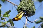 Black-headed Weaver (Ploceus melanocephalus)., Arba Minch area. South,  Ethiopia.