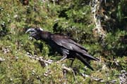 Thick-billed raven (Corvus crassirostris). Bale Mountain National Park. South,  Ethiopia.