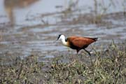 African jacana (Actophilornis africanuss). South,  Ethiopia.