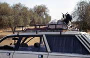 The best way to transport goat, Podor. Senegal.