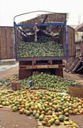 Mango fuitage was really big. Kayes town. Mali.