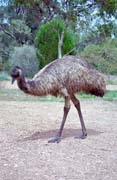 Ostrich. Mount Remarkable national park. Australia.
