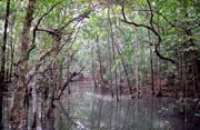 Mangrove swamp. Cape Tribulation area. Australia.