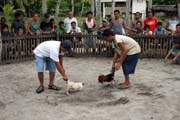 Cockfighting preparation. The owners starts to prepare the cocks for the fighting. The last minutes to bet on the winner. Malapascua. Philippines.