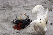 Cockfighting is Philippino national sport. The strong cock can win big money for his owner. Together with the money, the owner family get the other cock which is prepared for dinner. The meat is very healthy because of all the vitamins. Malapascua. Philippines.
