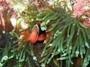 Clown Anemonefish their host anemone. Diving around Bunaken island, Siladan I dive site. Sulawesi,  Indonesia.