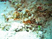 Crocodile Fish.  Diving around Bunaken island, Siladan I dive site. Indonesia.
