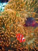 Clown Anemonefish in their host anemone. Diving around Bunaken island, Mandolin dive site. Sulawesi,  Indonesia.