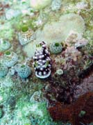 Nudibranch. Diving around Bunaken island, Mandolin dive site. Sulawesi,  Indonesia.