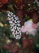 Polyclad flatworn. Nudibranch. Diving around Bunaken island, Alban dive site. Indonesia.