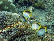 Spotfin Butterflyfish. Diving around Bunaken island, Alban dive site. Indonesia.