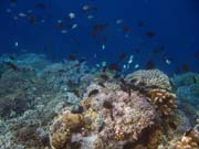 Diving around Bunaken island, Alban dive site. Sulawesi,  Indonesia.