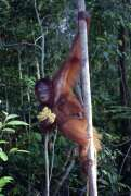 Orangutan in Tanjung Puting national park. Kalimantan,  Indonesia.
