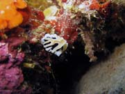 Nudibranch. Diving around Togian islands, Kadidiri, Taipee Wall dive site. Sulawesi,  Indonesia.