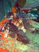 Lionfish. Diving around Togian islands, Kadidiri, plane wreck B24 from the 2nd World War sunken on Mai 3rd, 1945. Indonesia.