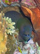 Giant moray eel (Gymnothorax javanicus). Diving around Togian islands, Kadidiri, Two Canyons dive site. Indonesia.