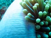 Anemone Cleaning Shrimp. Diving around Togian islands, Una Una, Fishermania/Pinnacle dive site. Sulawesi,  Indonesia.