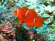 Clown Anemonefish. Diving around Togian islands, Kadidiri, Dominic Rock dive site. Sulawesi,  Indonesia.