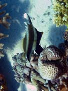 Bannerfish. Diving around Togian islands, Kadidiri, Dominic Rock dive site. Sulawesi,  Indonesia.
