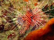 Lionfish. Diving around Togian islands, Kadidiri, Taipai island dive site. Sulawesi,  Indonesia.
