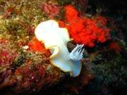 Ardeadoris Egretta Nudibranch. Diving around Biak islands, Owi island dive site. Papua,  Indonesia.
