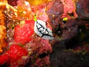 Nudibranch. Diving around Biak islands, Owi island dive site. Indonesia.