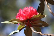 Rhododendron flower. Chin State. Myanmar (Burma).
