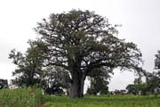 Nice huge tree. Boukoumbé area. Benin.