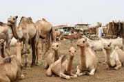 Cattle market at Agadez town. Niger.