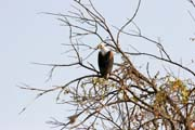 Fish eagle. Lake Chad area. Cameroon.