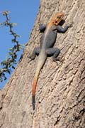Lizard. Mountain village Djingliya at Mandara Mountains. Cameroon.