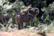 Monkeys are frequently seen along the main road N'Gaoundéré - Maroua. Cameroon.