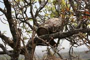 Bee-hive near Lake Tison. Cameroon.