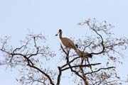 African Spoonbill, Waza National Park. Cameroon.