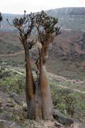 Socotran Desert Rose (Adenium obesum sokotranum). Dixam Plateau. Socotra (Suqutra) island. Yemen.