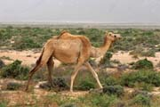 Camel and sand dunes at south coast of Socotra (Suqutra) island. Yemen.
