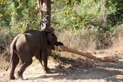 Elephant at work carrying tree. Camp with working elephants. Taungoo town area. Myanmar (Burma).