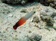 Goby fish, Bunaken dive sites. Sulawesi,  Indonesia.