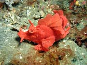 Scorpionfish, Lembeh dive sites. Indonesia.
