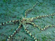 Mimic octopus, Lembeh dive sites. Indonesia.